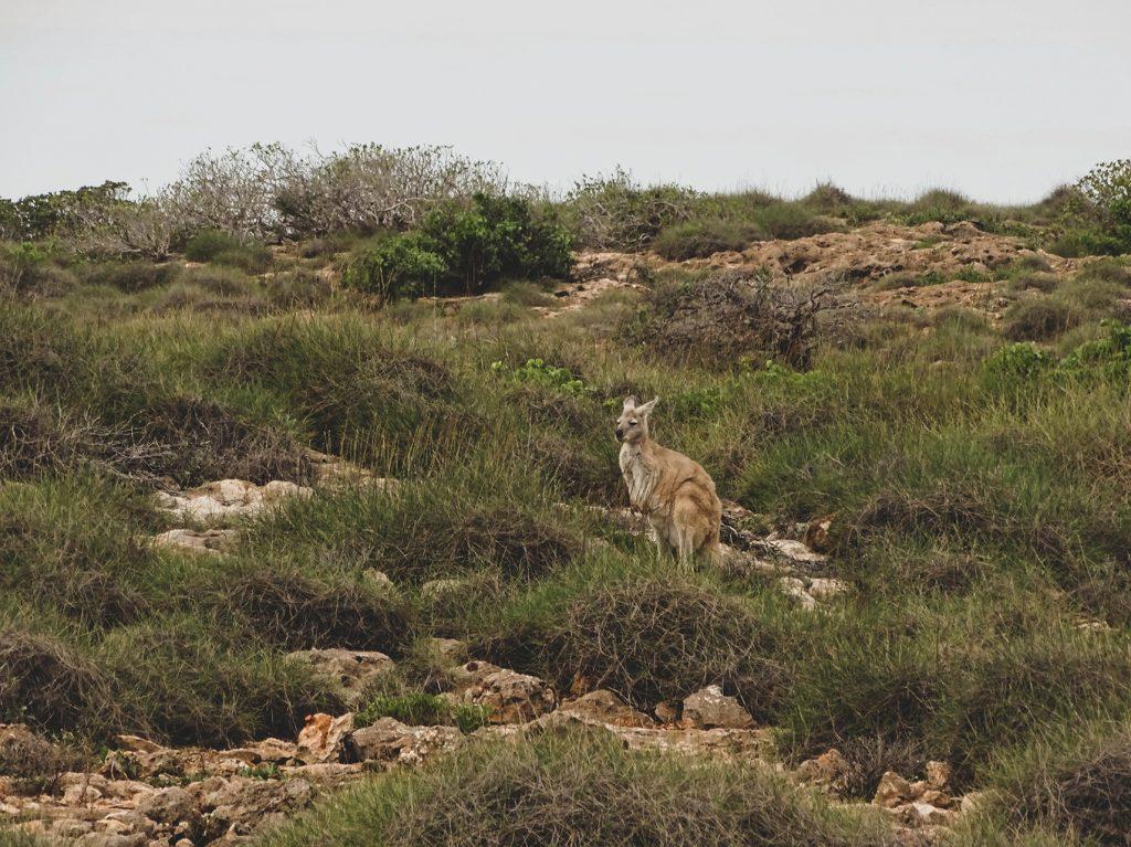 canguro en el cape range western australia