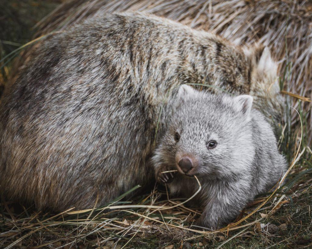 wombat y wombat bebe en Tasmania