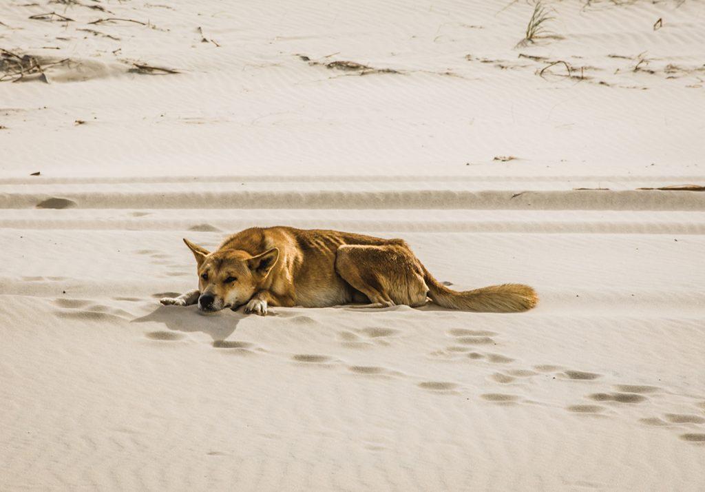 DIngo en arenas de Fraser Island en Australia